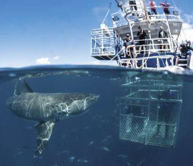 Potápanie so žralokom bielym v klietke