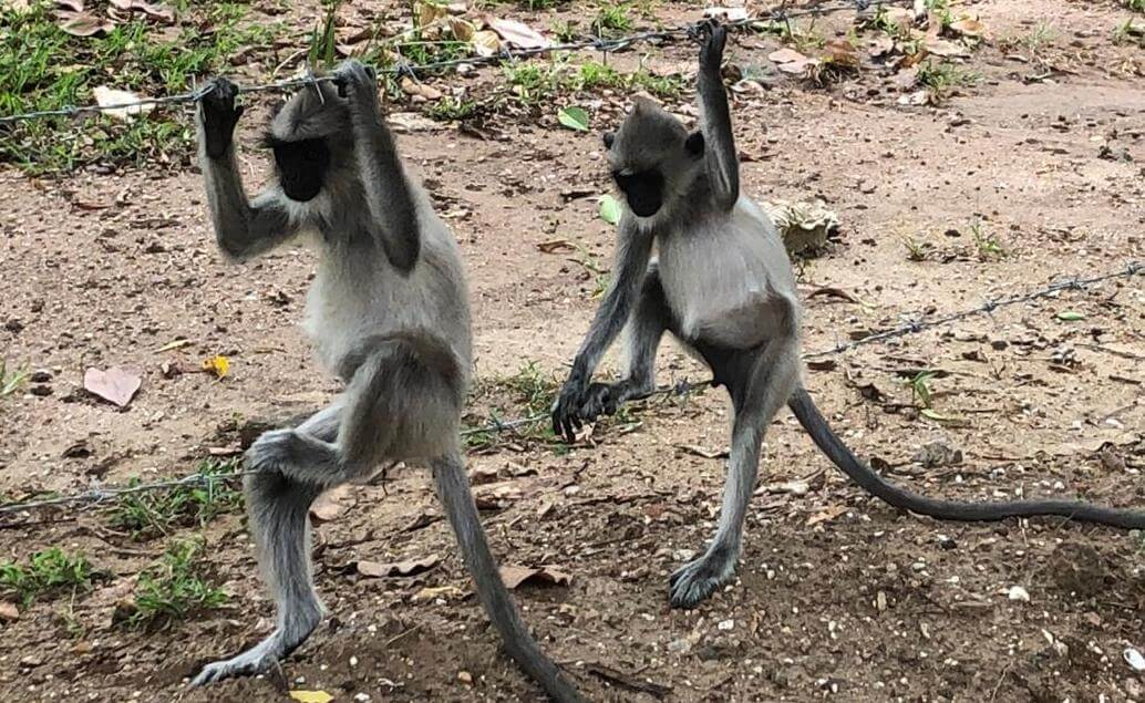 opice v Polonnaruwe