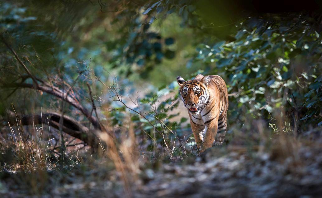 Pozorovanie tygrov v Ranthambore
