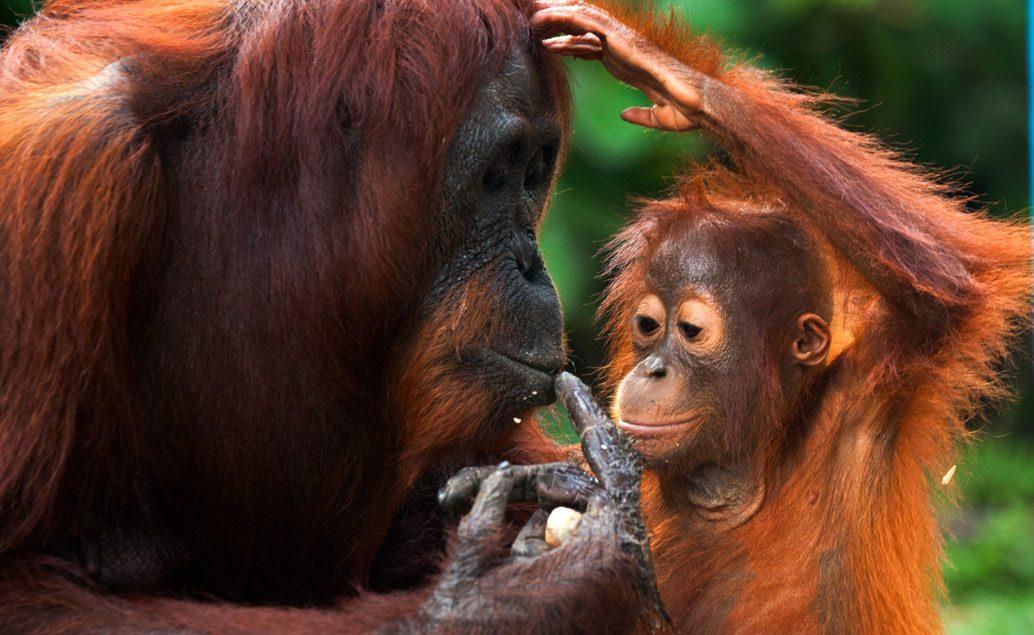 Zájazd Orangutany na Sumatre a domorodé kmene na Sulawesi