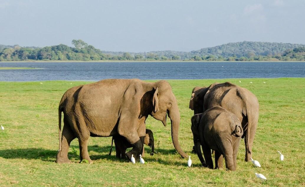 slony v národnom parku Minneriya
