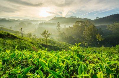 India a čajové plantáže Darjeelingu